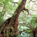ancient-myrtle-beech-tarra-bulga-national-park