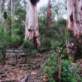 burl-on-large-mountain-grey-gum-old-coach-road