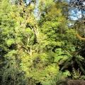 cool-temperate-rainforest-canopy-tarra-bulga-national-park