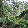 damp-forest-of-mountain-grey-gum-koala-habitat-west-face-track
