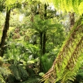 endangered-slender-tree-fern-tarra-valley