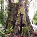 giant-tree-stump-with-springboard-slots-from-early-logging-history