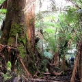 great-forest-remnant_billys-creek