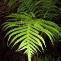 gristle-fern-morwell-national-park