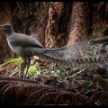 lyrebirds-are-abundant-and-their-many-songs-delight-walkers-linda-zwierlein