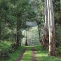 manna-gums-on-lower-billys-creek-track-morwell-national-park