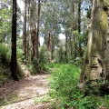 meandering-trail-through-tall-eucalypts-traralgon-creek