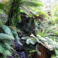 rocky-cascade-amongst-tree-ferns-road-31