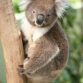 the-koalas-here-are-the-last-genetically-intact-population-remaining-in-victoria