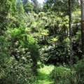 tree-ferns-are-found-along-most-of-the-track-road-31