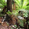 tree-ferns-fungi-abound-in-this-high-rainfall-environment